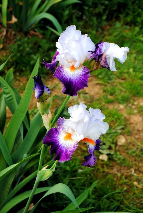 firenze primavera giardini in fiore